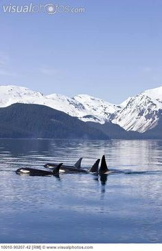 """See Orcas in the wild or just or you could """"JUST LET IT BE"""""""