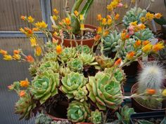 Echeveria 'Ramillete' is a hybrid Echeveria that forms rosettes (up to 4 inches/10 cm in diameter) of fleshy, frosty green leaves with red tips when tem... - World of Succulents - Google+