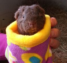 Snoozie's Cozies - hand-made fleece items for guineapigs and small pets. Also lots of toys, treats, bowls, bottles etc. UK stockist of STAYbowl and petwear washbags, as well as a range of ceramic mugs, greetings cards and gifts with a guinea pig or rabbit