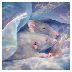 Dreaming - Fancy rats by *DianePhotos (deviantart)