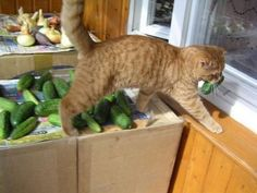 8 Ways Cats Help Us In The Kitchen - World's largest collection of cat memes and other animals Cute Funny Animals, Cute Cats, Funny Cats, Cats And Cucumbers, Neko Cat, Orange Cats, Dog Quotes, Funny Quotes, Funny Animal Pictures