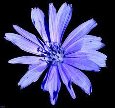 Violet Wildflower