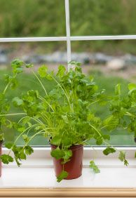 Tips for growing Cilantro indoors