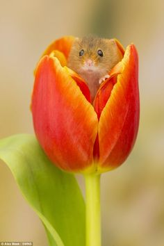 Heart-warming tiny two inch harvest mouse inside a tulip Heart-warming tiny two inch harvest mouse inside a tulip Heart-warming moment tiny harvest mouse just two inches long seeks refuge inside a tulip Cute Funny Animals, Cute Baby Animals, Animals And Pets, Beautiful Creatures, Animals Beautiful, Animal Pictures, Cute Pictures, Baby Pictures, Harvest Mouse