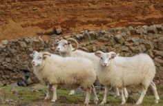 A recent breakthrough in international livestock regulations could now mean great things for British sheep farmers! #sheep