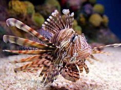 Lionfish | hide caption The spiny, venomous lionfish can kill three-quarters of a ...