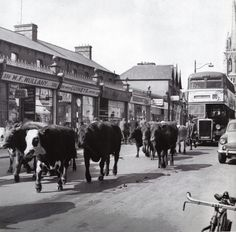 Cattle being driven to old cattle mart in Phibsborough, Dublin. Old Pictures, Old Photos, Vintage Photos, Retro Pictures, Dublin Market, St Peter's Church, Images Of Ireland, Ireland Homes, Dublin City