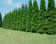 """Thuja Green Giant The Fastest Growing Quality Evergreen The Thuja Green Giant quickly gives you a lush, rich privacy screen feet per year once established). """"Quickly screen out neighbors or unsightly areas.without taking up a lot of yard space. Privacy Trees, Privacy Plants, Privacy Hedge, Privacy Landscaping, Backyard Privacy, Landscaping Ideas, Backyard Ideas, Arborvitae Landscaping, Privacy Fences"""