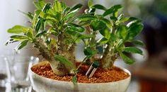 Ananaksen kasvatus