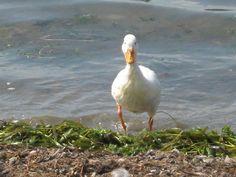 Duck on Lake Huron Lake Huron, Lakes, Animals, Beautiful, Animales, Animaux, Animal, Animais, Ponds