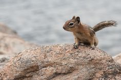 Chipmunk at Lily Lake, Rocky Mountain National Park, Colorado