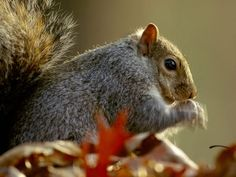 Close-Up of a Fox Squirrel Photograph by Bates Littlehales Fox squirrels are found throughout much of the United States as well as in northern Mexico and southern Canada. Fox Squirrel, Squirrels, Eastern Gray Squirrel, Fox Pictures, Toy Fox Terriers, Maine Coon Cats, Animals, Southern, Mexico