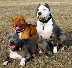 The best of friends....beautiful pit bulls!