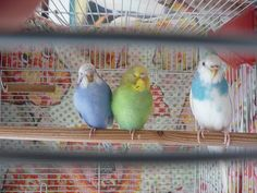 Precious!  Two budgie sleeping, one on watch duty