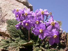 Ramonda myconi- Pireneje 1800m