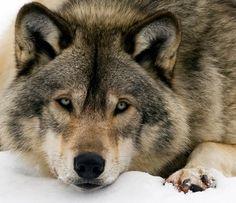 The Beauty of Wildlife Wolf by Rachel Bilodeau