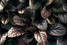 Der Mahagonigünsel zählt zu den winterharten Pflanzen des Herbstzaubersortiments. Der Wuchs der schönsten und besten Zierform des heimischen Günsel ist kriechend und bodendeckend. Von April bis Juli erscheinen die intensivblauen Blütenrispen. Sie bilden einen attraktiven Kontrast zu den glänzenden, mahagonifarbenen Blättern, die sich im Herbst tief dunkel verfärben. Der Mahagonigünsel ist hervorragend für die Bepflanzung von Kästen und Trögen geeignet.   Botanischer Name:  Ajuga reptans…