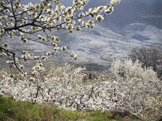 Valle del Jerte: Jerte valley, when the cherry trees blossom. I am so glad I was lucky enough to see this.