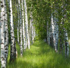 ***Birch grove in the spring (Russia) by Oksana Tkachuk 🌳🇷🇺 Birch Trees Painting, Birch Tree Art, Fantasy Landscape, Landscape Art, Tree Desktop Wallpaper, Russia Landscape, Blur Photo Background, Spring Images, Spring Painting