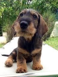 Cachorro de teckel pelo corto
