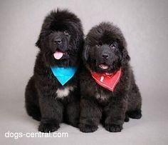 Genral and Garibaldi - two newfoundland puppies - Photo by:Waldek Dąbrowski Animals And Pets, Baby Animals, Cute Animals, Pretty Animals, Cute Puppies, Dogs And Puppies, Doggies, Terra Nova, Newfoundland Puppies