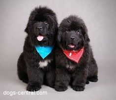 I think these Newfies want to go for a run about as much as I do.