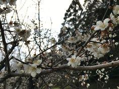 裏山の梅の花