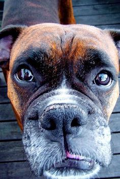 Boxer wants to tell you a secret