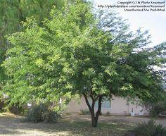 Prosopis alba (Argentine mesquite)