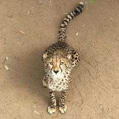 Do you ever feel like you're something's lunch?  #Oudtshoorn #travel #cheetah #animalobsessed #lunchtime