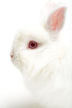 White rabbit on white. White rabbit closeup, highkey on white, focus on eye , Animals And Pets, Baby Animals, Cute Animals, Beautiful Creatures, Animals Beautiful, Beautiful Rabbit, White Rabbits, White Bunnies, Bunny Rabbits