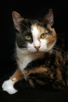 Freckles is the cat of the month at Courageous Cats Rescue and Adoption. She is calico mix who is very sweet and loves other cats.