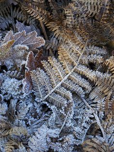 winter frost on ferns Start Of Winter, Winter Time, Winter Season, Jack Frost, A Touch Of Frost, I Love Snow, Winter Magic, Winter Scenery, Winter Beauty