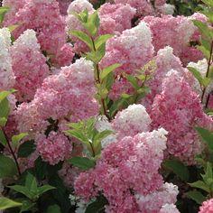 Strawberry Vanilla Hydrangea (hydrangea paniculata vanilla fraise). visual-gardening