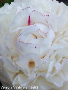 Versoja Vaahteramäeltä Coconut Flakes, Peonies, Icing, Spices, Flowers, Spice, Florals, Flower, Blossoms