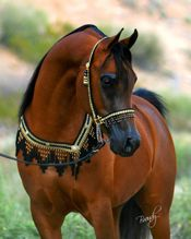 Hot Blooded Arabian. Quite the handful... naturally. Beautiful example of the breed here with the curved ear tips and the dished nose. Lovely.