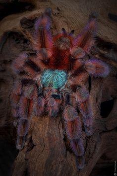 Antilles pinktoe tarantula (Avicularia versicolor) Definitely gonna be my next spider :) Beautiful Creatures, Animals Beautiful, Pet Tarantula, Animals And Pets, Cute Animals, Spider Pictures, Spiders And Snakes, Itsy Bitsy Spider, Jumping Spider