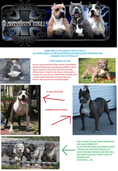 Alabama Iron Pitbulls have some of the best XXL Pitbull Kennels. We are located in Alabama contact us on to get your pitbull. Pitbull Kennels, Pitbull Puppies For Sale, Submissive, Amazing Art, Boston Terrier, Pitbulls, Infographic, Cool Stuff, Alabama