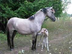 Sorraia mare and foal. More info about Sorraias in USA in http://www.sorraia.org/sorraias-in-america.html
