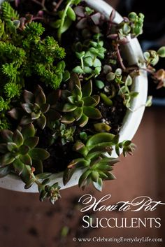 How to Pot Succulents   Celebrating everyday life with Jennifer Carroll
