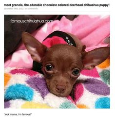 Love chocolate Chihuahuas