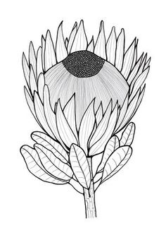 Tropical Flower Drawing One Color Tropical Flower Drawing One Color. Tropical Flower Drawing One Color. Tropical Flower Sketch at Paintingvalley in tropical flower drawing Glorious Protea Flowers to Color Protea Art, Flor Protea, Protea Flower, Flower Sketches, Drawing Sketches, Art Drawings, Flower Drawings, Drawing Tips, Art Floral
