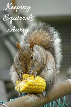 If you have a vegetable garden, you will be aware of how fast a squirrel can destroy it. These natural squirrel repellent ideas may be just what you need. What Do Squirrels Eat, Organic Gardening, Gardening Tips, Vegetable Gardening, Garden Diy On A Budget, Corn Plant, Garden Projects, Garden Ideas, Diy Projects