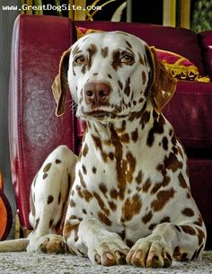 Brown dalmatian puppy dog