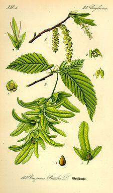 Carpinus betulus - Avenbok