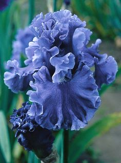Tall Bearded Iris 'Sea Power' - Bubble ruffling and its deep cornflower blue color evoke images of an angry sea responding to Neptune's command. An added plus is its sweet fragrance. Perfect plant to beautify the garden Iris Garden, Garden Plants, Nature Plants, Iris Flowers, Planting Flowers, Purple Flowers, Flowers Garden, Exotic Flowers, Yellow Flowers