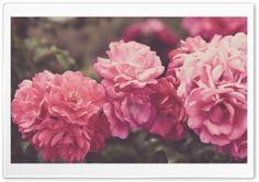 Rose Garden, Vintage HD Wide Wallpaper for Widescreen