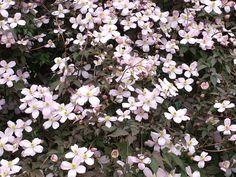 Clematis montana Rubens V máji a v júni vytvára množstvo veľkých, jemne ružových kvetov. Tento rýchlo rastúci plamienok je výborný na pokrytie pergol,na zakrytie nepeknej steny alebo plota a to aj zo severnej strany, pretože dobre znáša tieň. Kvitne na minuloročnom dreve. Najlepšie sa mu darí na priamom slnku alebo v polotieni, v úrodných, dobre priepustných neutrálnych pôdach. Dokáže rýchlo pokryť veľké ploty a steny a v ideálnych podmienkach môže po dvoch rokoch rastu dosiahnuť výšku až…