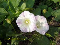 48 best oh my beautiful morning glory images on pinterest in 2018 morning glory flower two white morning glory flower file 356 large image 2304 1724 pixels mightylinksfo