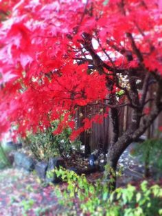 Japanese Maple at Maeberry County, Thetis Island, BC